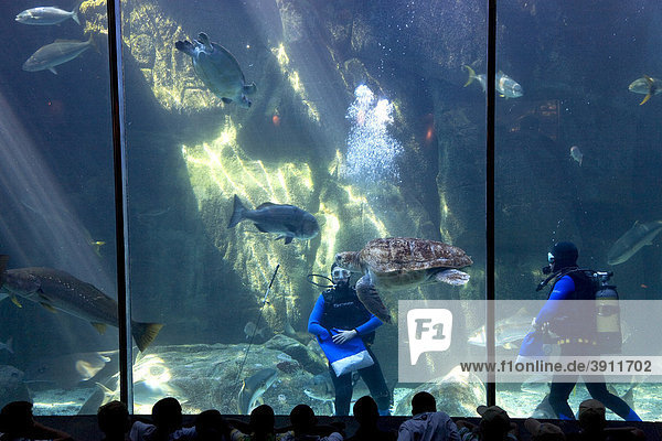Two Oceans Aquarium  divers feeding the sea animals  Victoria & Alfred Waterfront  Cape Town  Western Cape  South Africa  Africa