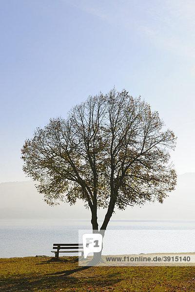 Baum mit Sitzbank am Walchensee im Herbst  Oberbayern  Bayern  Deutschland  Europa