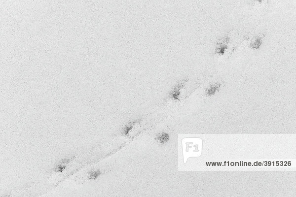 Footprints of a mouse in the snow