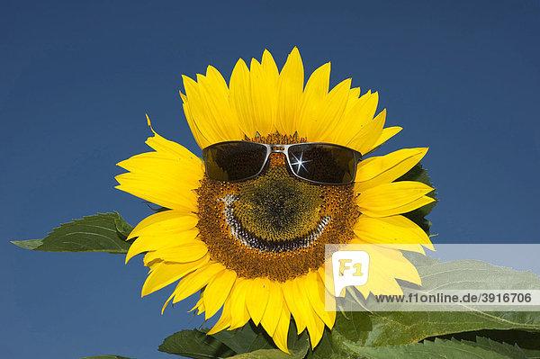 Sunflower (Helianthus anuus) wearing sunglasses  laughing