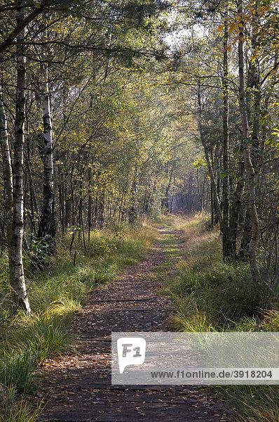 Weg durch den Birkenwald im Venner Moor Naturschutzgebiet  Münsterland  Nordrhein-Westfalen  Deutschland  Europa