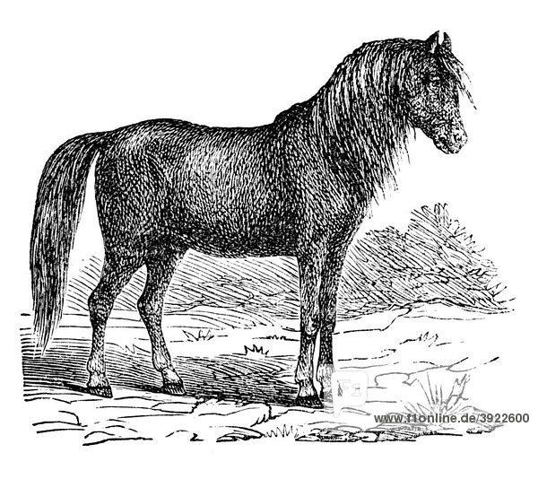 Pferd  historische Illustration aus: Marie Adenfeller  Friedrich Werner: Illustriertes Koch- und Haushaltungsbuch  Friedrichshagen 1899-1900  S. 701  Fig. 772