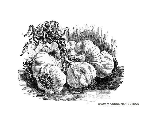 Knoblauch  historische Illustration aus: Theodor Lange: Allgemeines Illustriertes Gartenbuch  Bd. 2  Leipzig 1902  S. 143  Abb. 141