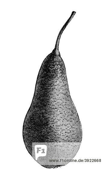 Sparbirne  historische Illustration aus: Marie Adenfeller  Friedrich Werner: Illustriertes Koch- und Haushaltungsbuch  Friedrichshagen 1899-1900  S. 66  Fig. 106