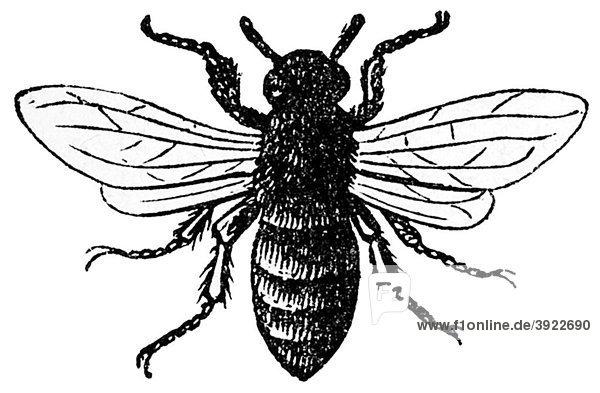 Biene  historische Illustration aus: Marie Adenfeller  Friedrich Werner: Illustriertes Koch- und Haushaltungsbuch  Friedrichshagen 1899-1900  S. 63  Fig. 99