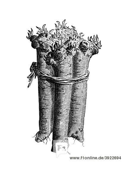 Meerrettich  historische Illustration aus: Theodor Lange: Allgemeines Illustriertes Gartenbuch  Bd. 2  Leipzig 1902  S. 138  Abb. 136