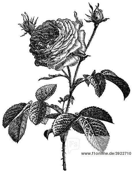 Rose  historische Illustration aus: Marie Adenfeller  Friedrich Werner: Illustriertes Koch- und Haushaltungsbuch  Friedrichshagen 1899-1900  S. 807  Fig. 865