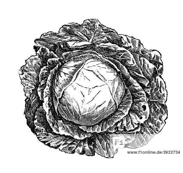 Weißkraut  historische Illustration aus: Marie Adenfeller  Friedrich Werner: Illustriertes Koch- und Haushaltungsbuch  Friedrichshagen 1899-1900  S. 470  Fig. 596