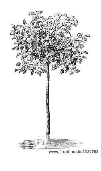 Hochstämmiger Johannisbeerstrauch  historische Illustration aus: Theodor Lange: Allgemeines Illustriertes Gartenbuch  Bd. 2  Leipzig 1902  S. 343  Abb. 278