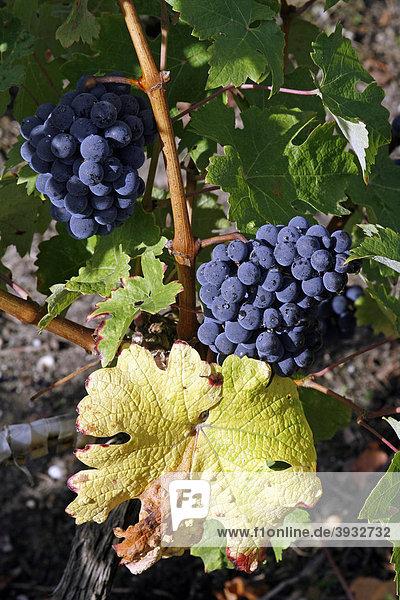 Reife Weintrauben im Weinberg  Medoc  Aquitanien  Frankreich  Europa
