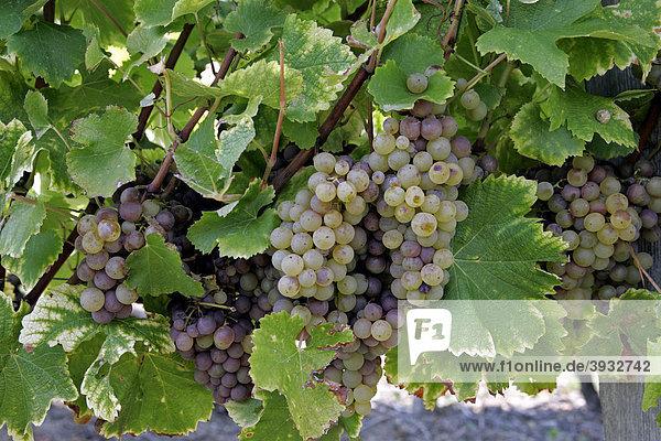 Semillon-Weintrauben im Weinberg  Monbazillac  Dordogne  Aquitanien  Frankreich  Europa