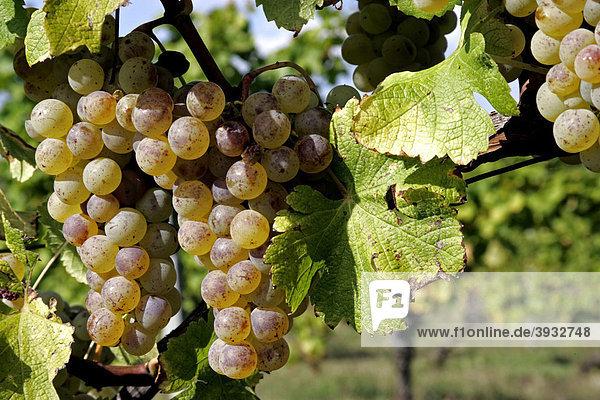 Semillon-Weintrauben im Weinberg des Chateau Monbazillac  Dordogne  Aquitanien  Frankreich  Europa