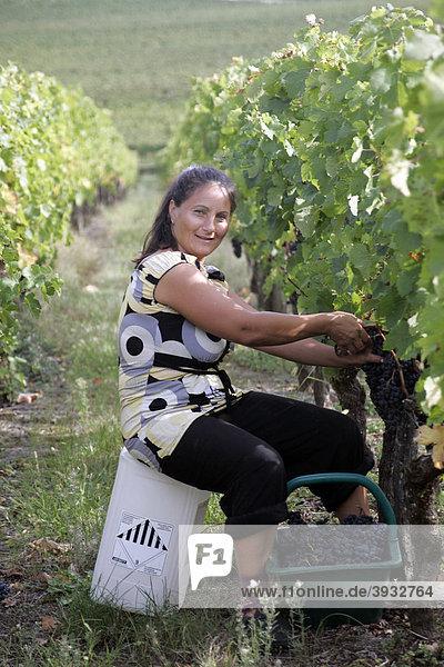 Arbeiterin  reife Weintrauben im Weinberg  St. Emilion  Aquitaine  Frankreich  Europa