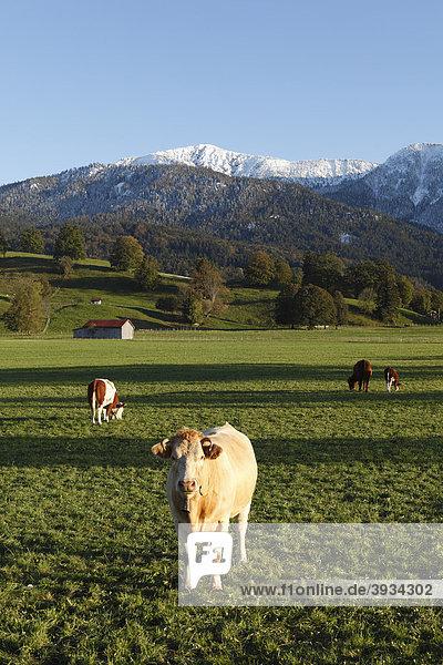 Jungkühe auf Weide bei Ohlstadt  Oberbayern  Bayern  Deutschland  Europa
