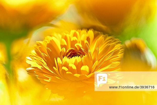 Blüte Ringelblume (Calendula officinalis)
