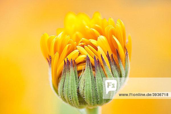 Aufgehende Blüte der Ringelblume (Calendula officinalis)