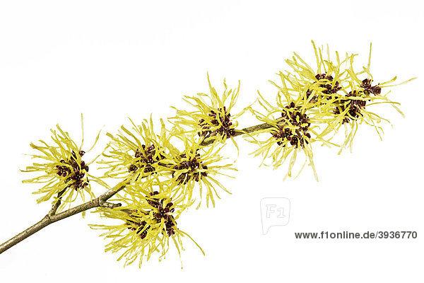 Blüten der Zaubernuss (Hamamelis)