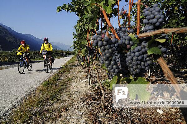 Radfahrer  Weinberge bei Sion  Wallis  Schweiz  Europa