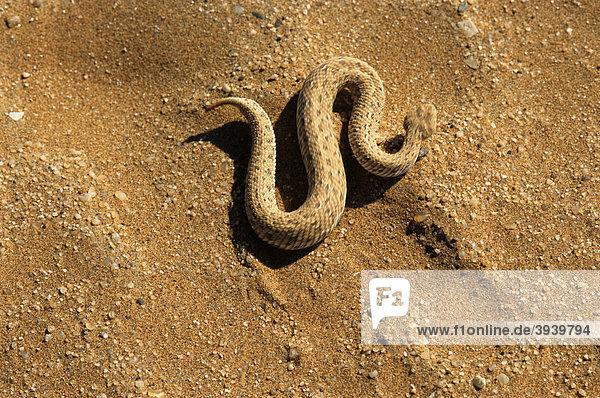 snake, Peringuey's adder, Peringuey's desert adder, Sid