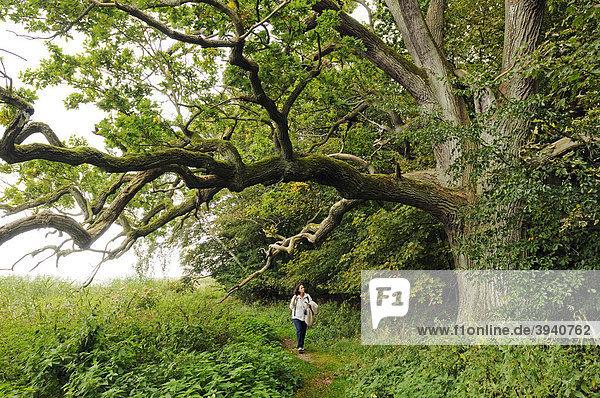 Jahrhunderte alte Eiche (Quercus) im Naturschutzgebiet Insel Vilm im Biosphärenreservat Südost-Rügen  Insel Rügen  Mecklenburg-Vorpommern  Deutschland  Europa