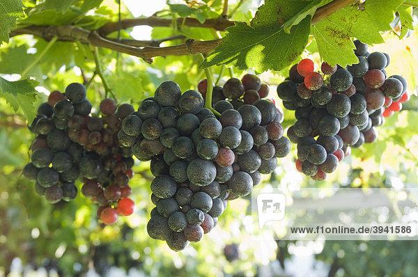 Blaue Weintrauben  Weinberg  Kaltern  Trentino  Südtirol  Italien  Europa