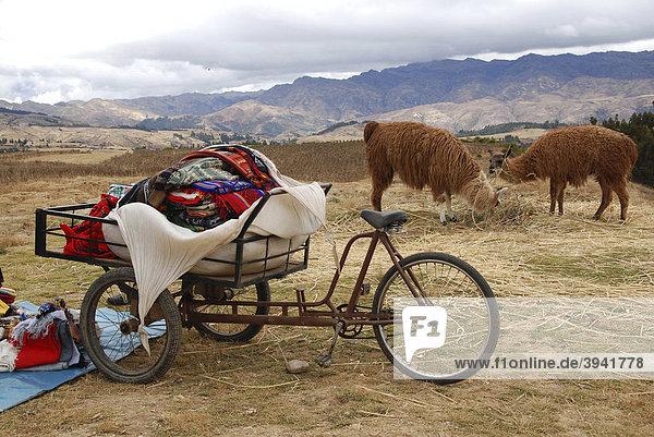 Zwei Lamas und ein Fahrrad  Huilahuila  Peru  Südamerika  Lateinamerika