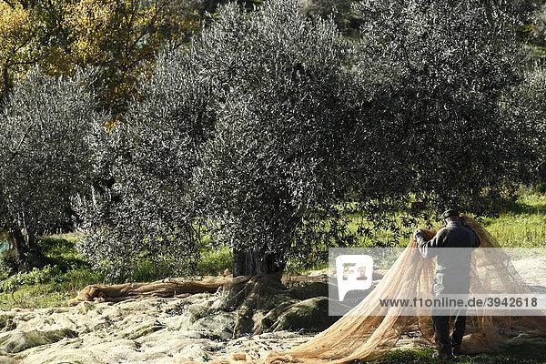 Bauer bei der Olivenernte  Toskana  Italien  Europa