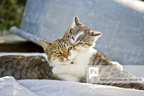 Zwei Hauskatzen schmusend