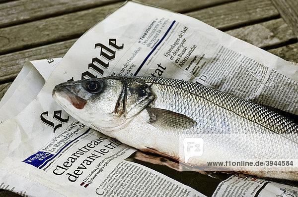 Wolfsbarsch (Dicentrarchus labrax) auf einer Zeitung