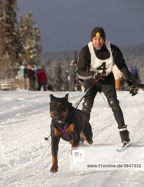 Mann beim Skijöring  laufender Schlittenhund  Hundegespann  Rottweiler  Schlittenhund-Rennen bei Whitehorse  Yukon Territory  Kanada