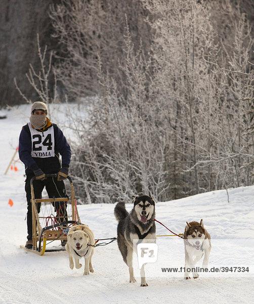 Laufende Schlittenhunde  Hundegespann  Sibirische Huskies  Musher  Schlittenhund-Rennen bei Whitehorse  Yukon Territory  Kanada