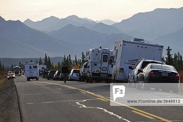 Verkehrsstau wegen Elchen  Denali Nationalpark  Alaska