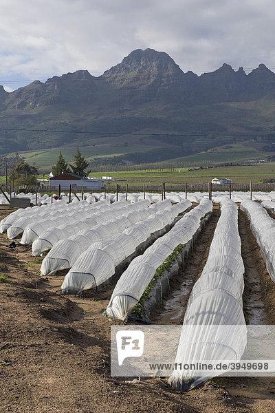 Erdbeeranbau unter Folientunnel  Stellenbosch  Südafrika  Afrika