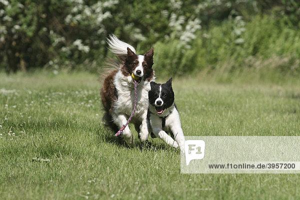 Border Collie und Border Collie Welpe  16 Wochen alt  rennen zusammen spielend über die Wiese