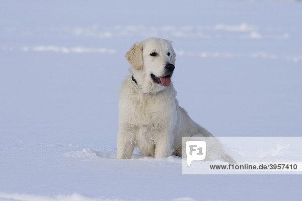 Golden Retriever Hündin  7 Monate  sitzt im Schnee