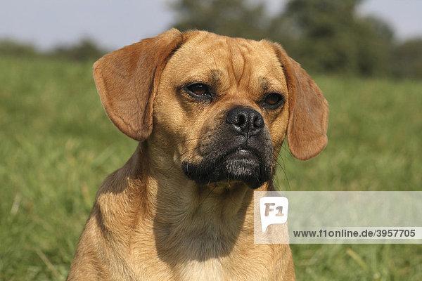 Mops-Beagle Mischling Rüde 16 Monate, Porträt . Lizenzpflichtiges