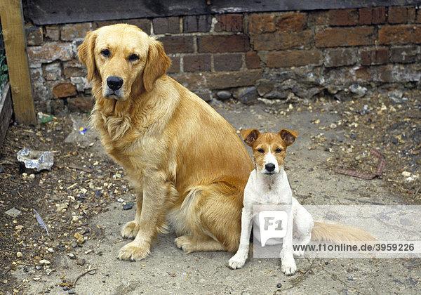 Golden Retriever und Jack Russel