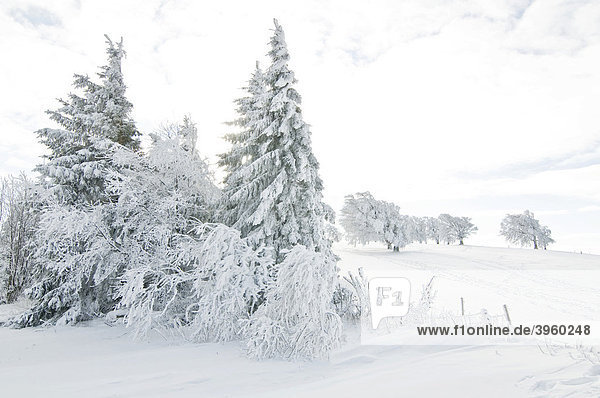 Snow-covered fir trees in winter  South Black Forest  Baden-Wuerttemberg  Germany