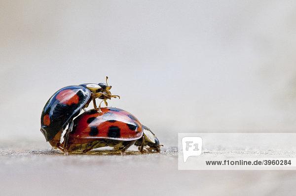 Zwei Marienkäfer bei der Befruchtung