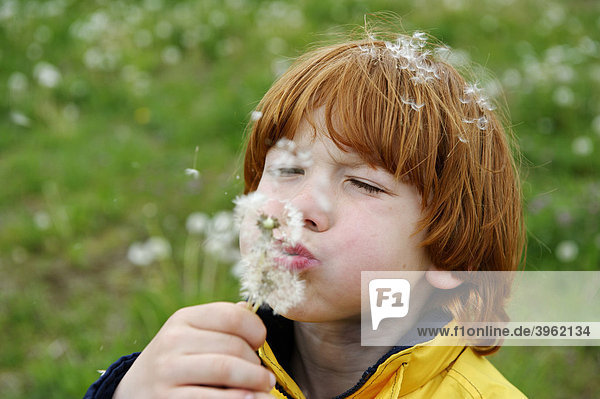 Junge pustet einen Löwenzahn  Pusteblumen (Taraxacum sect. ruderalia)