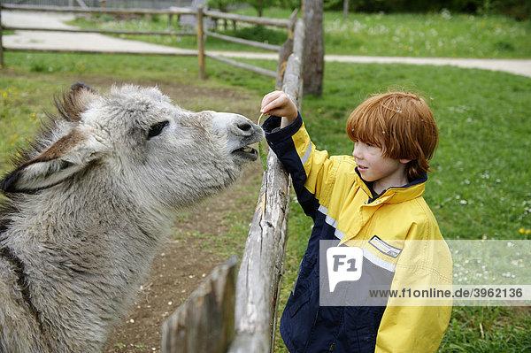 Junge füttert einen Esel