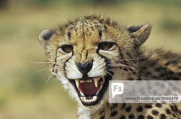 Gepard (Acinonyx jubatus)  Namibia  Afrika