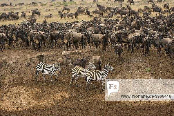 Weissschwanzgnus (Connochaetes taurinus) und Burchell-Zebras oder Gemeine Zebras (Equus burchellii) den Mara Fluss überquerend  Masai Mara National Park  Kenia  Ostafrika