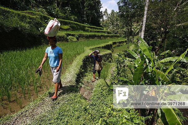 Reisfelder  bei Pura Gunung Kawi Sebatu  den alten Königsgräbern  Bali  Republik Indonesien  Südostasien