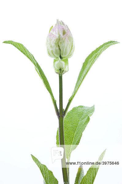 Salbei mit falscher Blüte  dient zur Bildung neuer Blätter