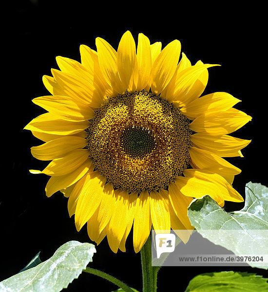 Blüte einer Sonnenblume (Helianthus annuus)  Deutschland  Europa