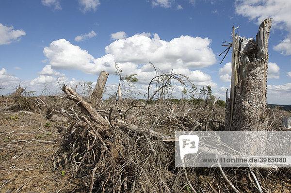 Baumstümpfe am Grenz-Kammweg  vom Orkan Kyrill entwaldet  zwischen Nordrhein-Westfalen und Hessen nördlich von Willingen  Hessen  Deutschland
