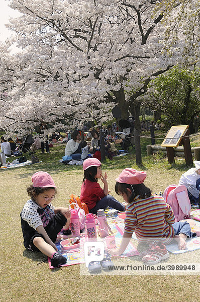 Kindergarten picnic under the blossoming cherry trees in spring in the Kyoto Botanical Garden  Japan  East Asia  Asia