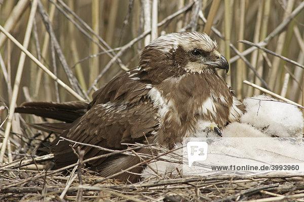 Rohrweihe (Circus aeruginosus) am Nest mit Jungen