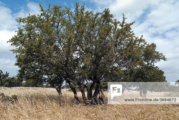 Arganbaum (Argania spinosa)  Marokko  Afrika